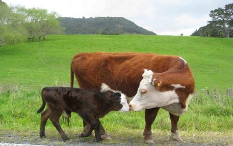 Karvė su veršeliu