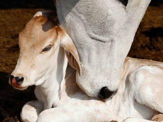 Karvė su teliuku